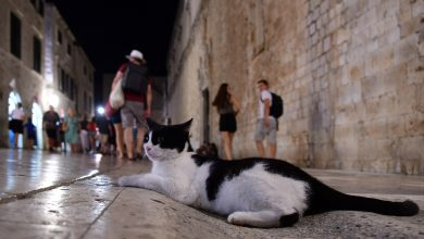 Photo of CATS OF DUBROVNIK Adorable, Lovable and So Fluffy