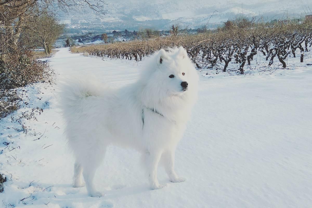 Photo of Beautiful Samoyed Haci Enjoys the Snow on Pelješac!
