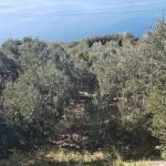 Katija Puljizevic Olive Paths